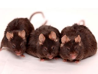 caloric restriction in mice