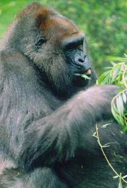 gorilla's eat vegetables vegetarian